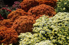 Varietà di crisantemo all'aperto Fiori di autunno Fiori in parco Fotografia Stock