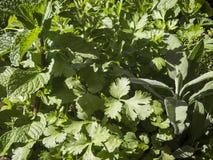 Varietà di erbe Immagine Stock
