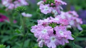 Varietà di fiore selvaggio Fiore rosa con una tinta della porpora Cambiamento delle distanze focali archivi video