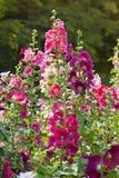 Varietà di fiori della malva sull'aiola Fotografia Stock Libera da Diritti