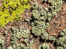 Varietà di lichene su una roccia ruvida fotografia stock libera da diritti