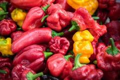 Varietà di peperoni organici freschi sulla tavola Immagine Stock