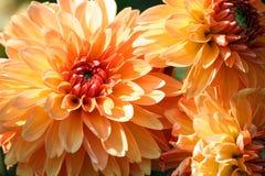 Varietà di pianta di asteraceae della roba di bambini del crisantemo, tre grandi fiori arancio fotografie stock libere da diritti