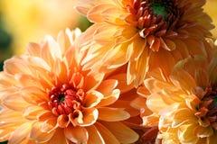 Varietà di pianta di asteraceae della roba di bambini del crisantemo, tre grandi fiori arancio fotografia stock