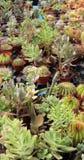 Varietà di succulenti e di catcus Fotografia Stock Libera da Diritti
