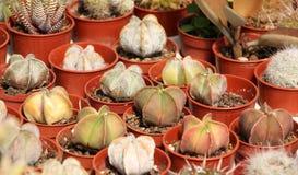 Varietà di succulenti e di catcus Immagine Stock