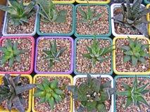 Varietà di succulenti/hawortia ed aloe Fotografia Stock