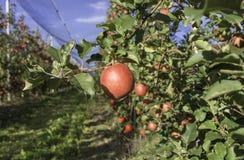 Varietà matura della mela di signora rosa su di melo al Tirolo del sud in Italia Tempo di raccolta Fuoco selettivo immagine stock