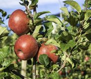 Varietà matura delle mele di signora rosa su di melo al Tirolo del sud in Italia Tempo di raccolta fotografia stock