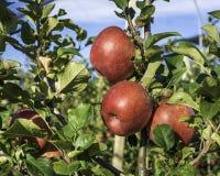 Varietà matura delle mele di signora rosa su di melo al Tirolo del sud in Italia Tempo di raccolta immagine stock libera da diritti