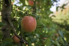 Varietà matura delle mele di signora rosa su di melo al Tirolo del sud in Italia Tempo di raccolto nel paese Tirolo del sud della immagine stock libera da diritti