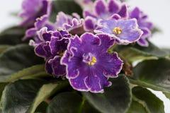 Varietal изюминки DS фиолета принятые с объективом макроса Стоковая Фотография