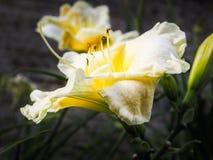 Varietal лилии для букета карточка осени легкая редактирует цветки праздник дорабатывает для того чтобы vector Конец-вверх Стоковая Фотография