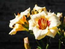 Varietal лилии для букета карточка осени легкая редактирует цветки праздник дорабатывает для того чтобы vector Конец-вверх Стоковые Фотографии RF