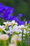 Varietal garden irises in bloom Royalty Free Stock Photo