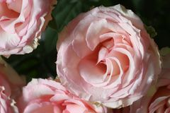 Varietal pink roses ! Classic is always in fashion even at the flowers. Roses are one of the most beloved and widespread flowers on the planet. flavor and Royalty Free Stock Photos
