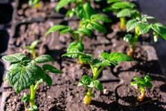 Varietal potatoes seedlings. Sprouted potato tuber. Green shoots of potato seed on the background of the plantation. Young potato. Plant, top view, agro stock images