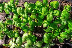 Varietal potatoes seedlings. Sprouted potato tuber. Green shoots of potato seed on the background of the plantation. Young potato stock images