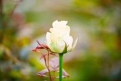 Varietal rosor på en grön trädgård för buske på våren royaltyfria foton