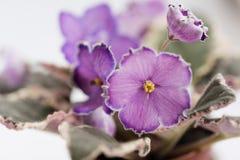 Varietal violett kvalitetsaftoneskort Arkivfoto