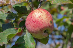 Varieties of apples Glory winners Stock Photo