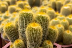 Varieties of cactus plant in the pot. Close up view. Selective Focus. Shallow depth of Field stock photo