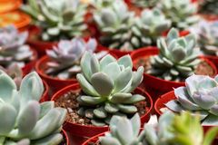 Varieties of cactus plant in the pot. Close up view. Selective Focus. Shallow depth of Field royalty free stock photo