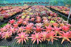 Varieties of colorful bromeliad plants in greenhouse nursery stock photography