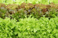 Assorted Organic Vegetables in Hydroponic Farm. Varieties of Fresh Organic Vegetables in Hydroponic Farm royalty free stock images