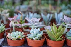 Varieties of green hen and chicks, succulent plant, in brown pot with blurred background selling in local market, selective focus. Turkey royalty free stock photo