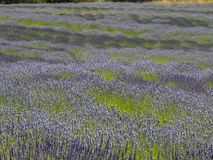 Varieties of lavender in bloom Royalty Free Stock Photos