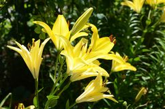 Varieties of lilies `MONA` Asian hybrids. The flowers are beautiful saturated bright yellow with brown long stamens in the summer garden.Grow in a clearing with Royalty Free Stock Photos