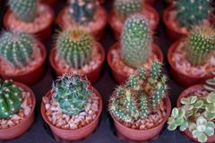 Varieties of lovely small cactus with different head and spine in brown plant pot with pebble selling in garden decoration market. Selective focus, Thailand stock images