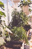 Aromatic urban roof garden, lovage bush Royalty Free Stock Images