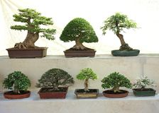 Variety of Asian Bonsai Trees in Competition Display. An exposition of eight bonsai trees young and old small and large on display at the flower festival in Royalty Free Stock Images