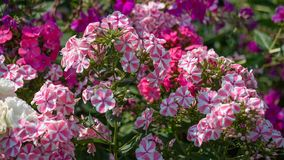 Blooming pink Phlox in the garden. A variety of beautiful blooming pink Phlox in the garden. Pink and lilac flowers shot close - up with wide open aperture stock image