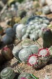 Variety of blossoming cactuses Stock Photo