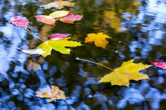 Variety of Bright Autumnal Leaves in water Puddle Stock Image