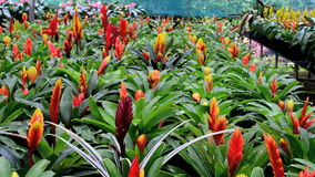 A variety of bromeliad in the nursery stock footage
