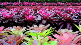 A variety of bromeliad in the nursery stock video