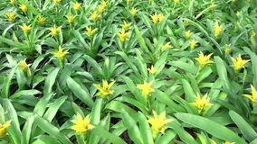 A variety of bromeliad in the nursery, Thailand stock video