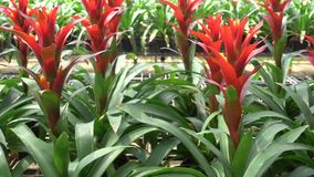 A variety of bromeliad in the nursery, Thailand stock video footage