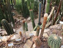 A variety of cactus Foxtail Agave, Indian-figl, etc, berlin-dahlem botanical garden stock photos