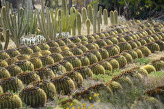 Variety of cactus landscape Royalty Free Stock Images