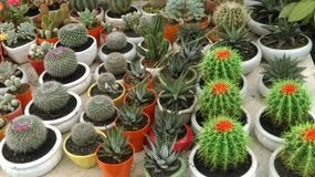 Variety of Cactus in little pot Stock Image