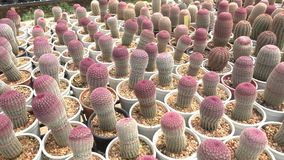 A variety of cactus in the nursery. Thailand stock video