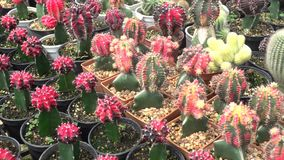 A variety of cactus in the nursery. Thailand, left pan stock video