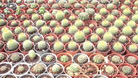 A variety of cactus in the nursery. Thailand, right pan stock video