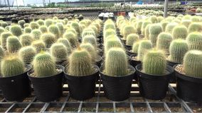 A variety of cactus in the nursery stock video