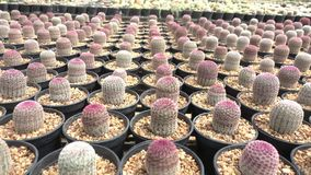 A variety of cactus in the nursery, Thailand. Right pan stock footage